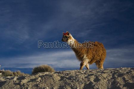 nationalpark chile llama