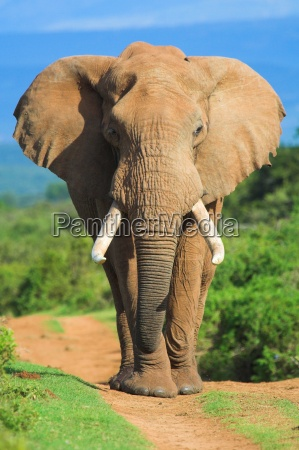 elephant portraet