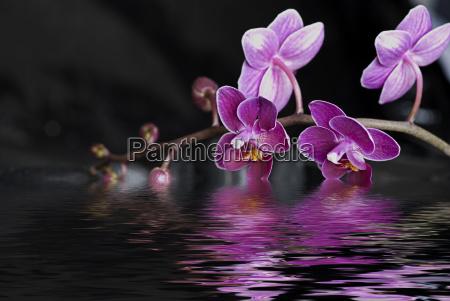 orchid og vand