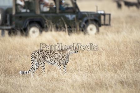 dyr turisme afrika safari kat gepard