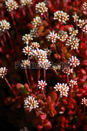 red white aloe succulent flowers