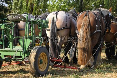 landbrug hest heste koldblodede dyr arbejder