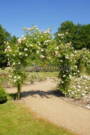 rose trellis on the way