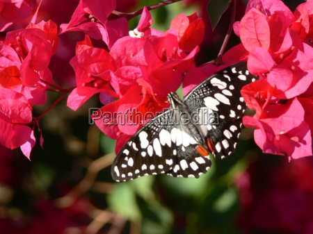 butterfly in australia on red blossoms