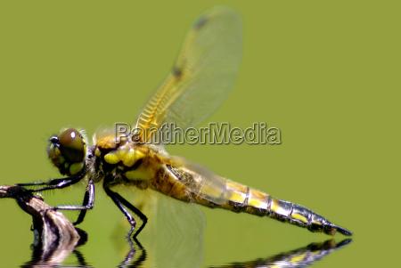 miljo dyr berlin guldsmed libelle guldsmede