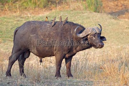 afrikansk boffel tyr