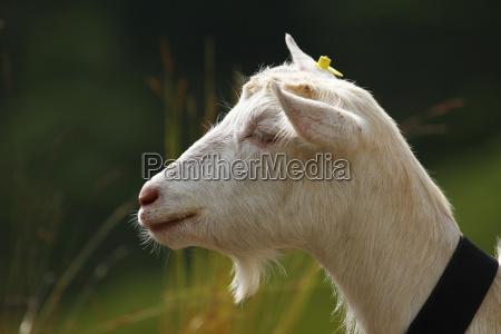 swiss goats on the alp