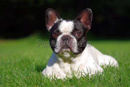 miljo dyr hunde bulldogs natur
