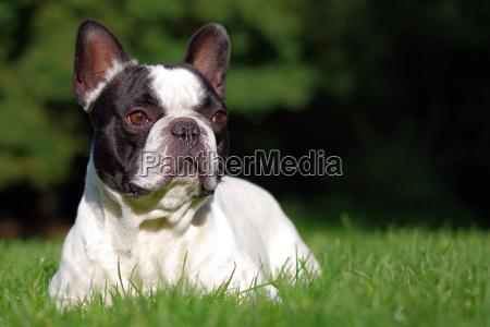 französische, bulldogge - 5412099