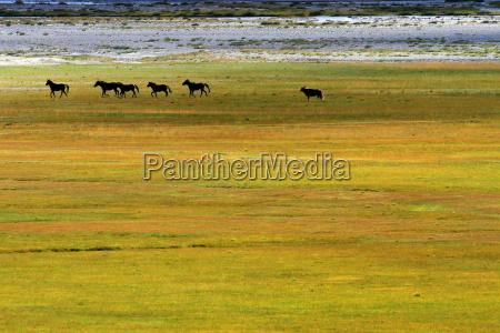 wild mustangszanskar valleyindia