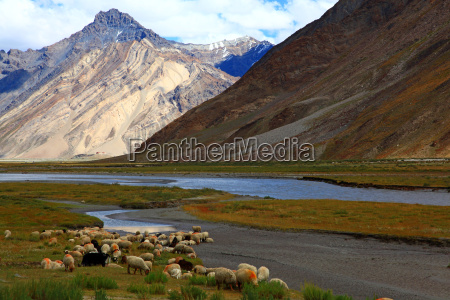 sheepszanskar valleyindia