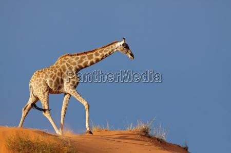 giraffe pa sandklit