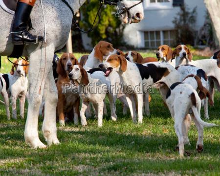 by sport amerikansk hest hunde jage