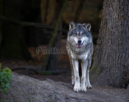 gra ulv