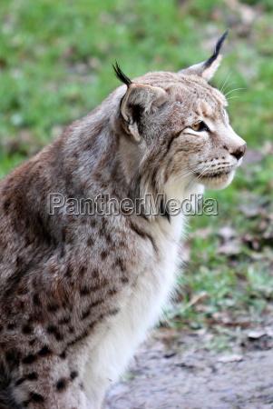 lynx pa sababurg animal park