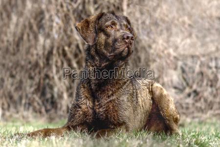 dyr hund hunde labrador