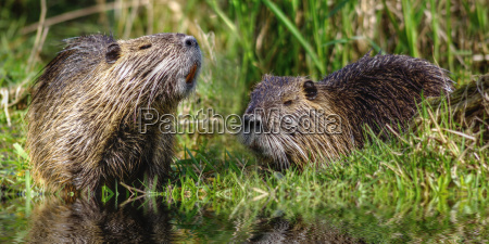 tail beavers myocastor coypus