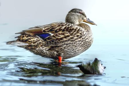 miljo fugl dyr fugle aender natur