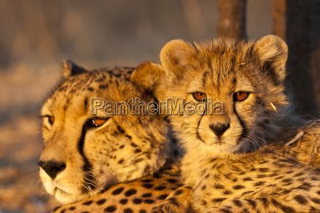 unge cheetah acinonyx jubatus med cheetah