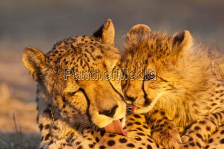 young cheetah acinonyx jubatus med cheetah