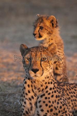 dyr aften horisontal kat gepard unge