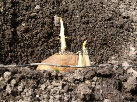 plante kartofler
