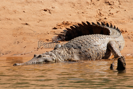 krybdyr krokodille australien down under tropiske