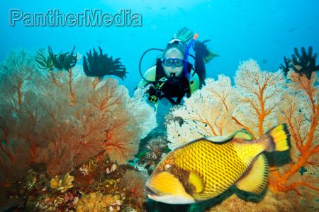 triggerfish og dykker