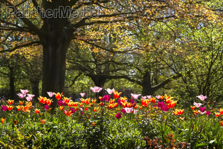 jardim flor flores planta tulipas primavera