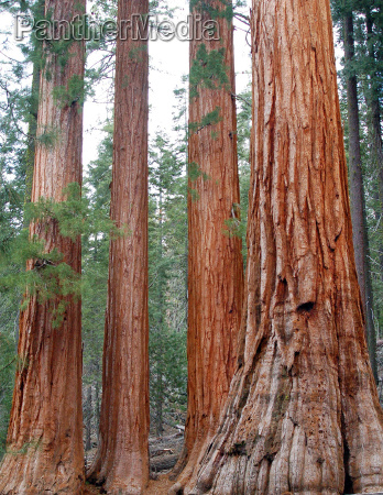 bachelor and three sisters giant sequoia