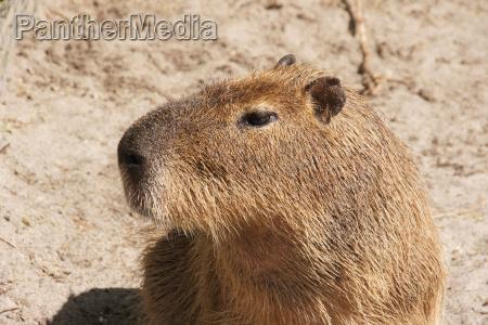 dyr pattedyr portraet ojne gnaver hoved