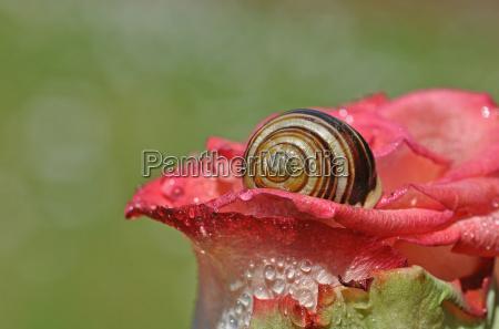 flower rose plant bloom blossom flourish