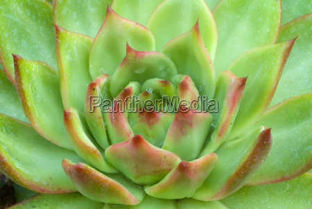 green brown echeveria succulent plant