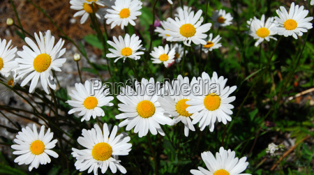 gerbera daisy white yellow flower