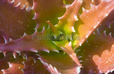 aloe dorotheae green brown succulent plant