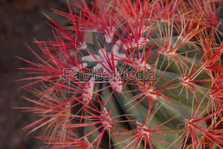 green red cactus plant