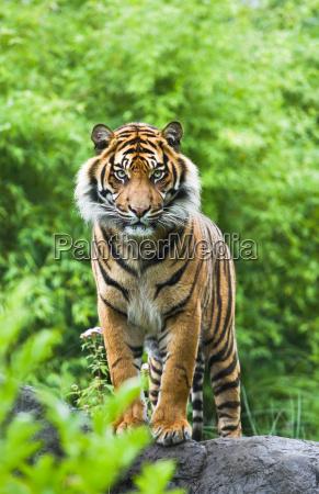 dyr pattedyr kat tiger bambus asian