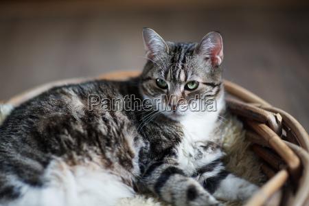 house cat in wicker basket