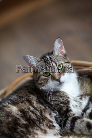 domestic cat in wicker basket