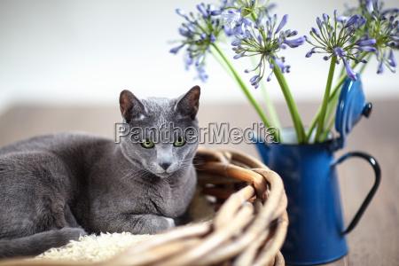 russian blue cat in wicker basket