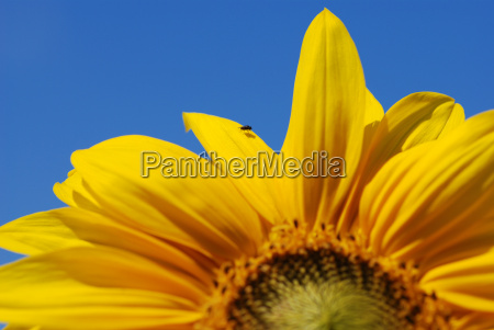 blue flower sunflower plant fly shine