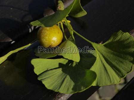 blad blade solv frugter frugt traefrugt