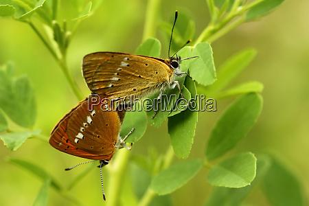 dyr insekt sommerfugl mol