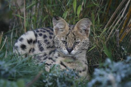 serval offspring