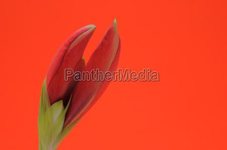 amaryllis blossom