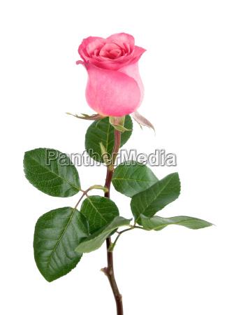 sod rose i pink pa hvidt