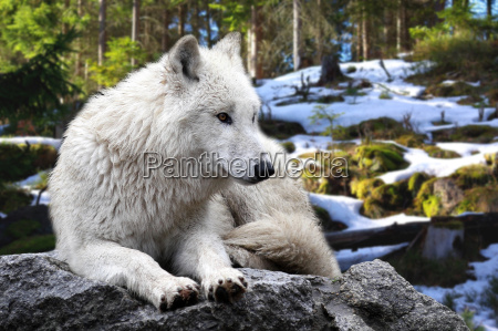 ulven canis lupus