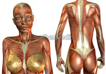 kvindes bryst og ryg muskel