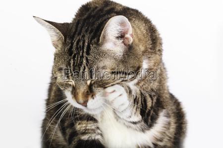 cats lick