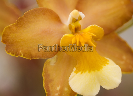 oncidium yellow brown orchid flower